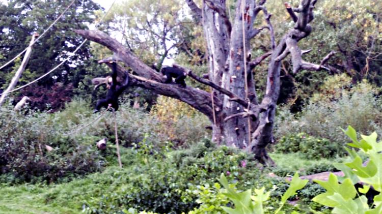 chimpanzees00_af